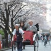 Enjoying Cherry Blossom on Rickshaw