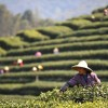Season of Tea Harvest in China