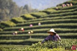 Season of Tea Harvest in China