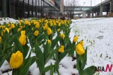 Spring Snow On Blossoming Tulips
