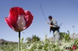 Poppy Eradication In Afghanistan