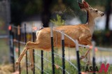 Deer Jumps Through Fence To Avoid Wildfire
