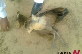 Pakistan: Outbreak of mysterious disease causes death of peacocks in Thar Desert of Sindh