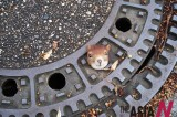 A Squirrel Trapped In Manhole Cover