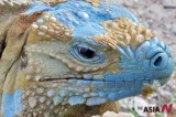Blue Iguana No Longer Considered Endangered Species Due To Success In Breeding