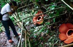 [Indonesia Report] Rafflesia Patma, a giant flower, blooms at Bogor Botanical Garden in Indonesia