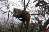 Local people in eastern Nepal take initiative to preserve red pandas
