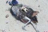 Why dozens of Pakistani peacocks perish?