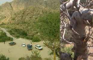 [Exclusive Report] Environmental Disaster in world's 4th biggest Thar Desert: Thousands of Gugral trees dry up due to illegal extraction of resin