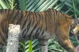 Relocating Sumatran tiger will not solve human-wildlife conflict: WWF