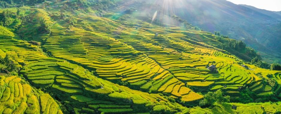 Vietnam's northwestern region lures visitors with stunning yellow autumn coat