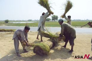 Pakistani Farmers Harvest Rice Amid Fear Of Drastic Crop Reduction Due To Heavy Monsoon Rains