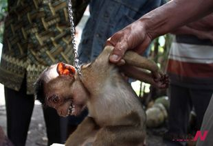 Young pig-tailed macaques in display for sale in West Sumatra
