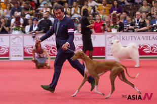 A dog compete during world's largest Budapest dog show