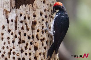 A woodpecker stores seeds at UN Park El Picacho in Honduras