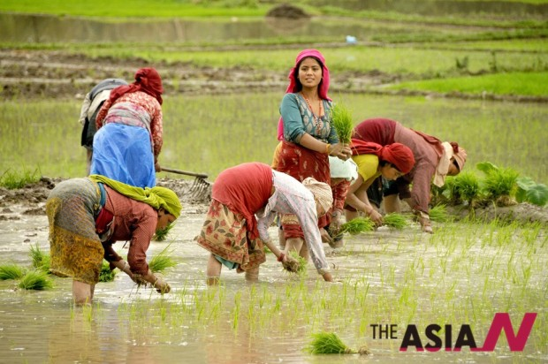 Nepalese famers work in the beginning of the monsoon season in Khokana near Kathmandu. Nepalese economy still heavily relies on agriculture and the government looks forward to moving into other sectors to diversify its economy. (Photo : Xinhua)