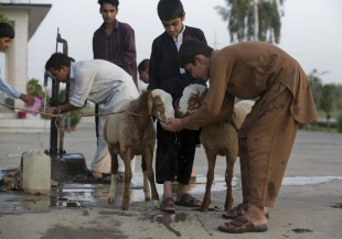 Pakistani boys water their sheep they bought for Eid al-Adha in Islamabad, Pakistan, Friday, Sept 9, 2016. Eid al-Adha, or the Feast of the Sacrifice, marks the willingness of the Prophet Ibrahim -- Abraham to Christians and Jews -- to sacrifice his son. During the holiday Muslims slaughter sheep and cattle, distribute part of the meat to the poor and eat the rest. (AP Photo/B.K. Bangash)