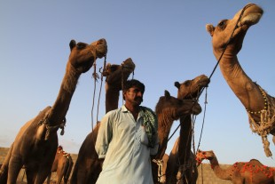 A Pakistani vendor wait for customers at a cattle market set up for the upcoming Muslim holiday of Eid al-Adha, in Karachi, Pakistan, Friday, Sept 9, 2016. Eid al-Adha, or the Feast of the Sacrifice, marks the willingness of the Prophet Ibrahim -- Abraham to Christians and Jews -- to sacrifice his son. During the holiday Muslims slaughter sheep and cattle, distribute part of the meat to the poor and eat the rest. (AP Photo/Fareed Khan)