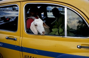 A goat is transported in a yellow cab near a live stock market ahead of the Muslim festival Eid al-Adha in Kolkata, India, Sunday, Sept. 11, 2016. Eid al-Adha, or the festival of sacrifice is celebrated by Muslims around the world to commemorate Prophet Ibrahim's test of faith. During the Eid, Muslims slaughter livestock and distribute the meat to the poor. (AP Photo/Bikas Das)