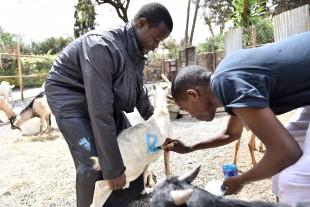 (160912) -- NAIROBI, Sept. 12, 2016 (Xinhua) -- Vendors paint a mark on a sold goat at a livestock market near a local mosque during the annual festival of Eid al-Adha in Nairobi, Kenya, Sept. 12, 2016. (Xinhua/Sun Ruibo)(yk)