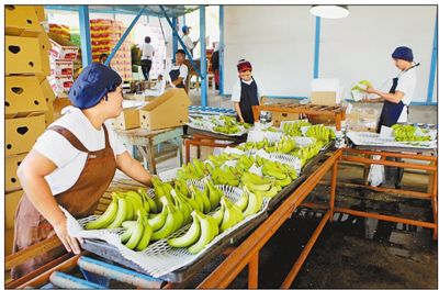 Workers are packaging bananas at a plantation in Davao del Norte, the Philippines. Bananas are the star products of the Philippines' export, whose export volume has been ranking the first among the country's agricultural products for years. China is its second largest destination of bananas, consuming a quarter of the total export volume. Photo by Xinhua News Agency