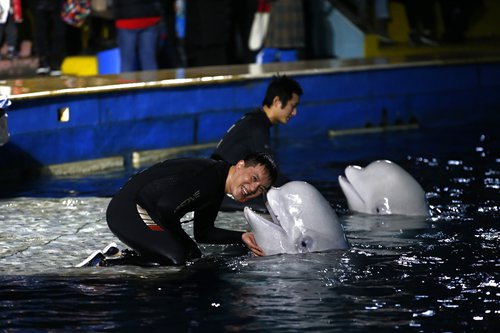 Tamers bid farewell to two beluga whales at their last show in Shanghai Chang Feng Ocean World on Thursday. They will be sent to a reserve in Iceland in April. Photo: Yang Hui/ Global Times