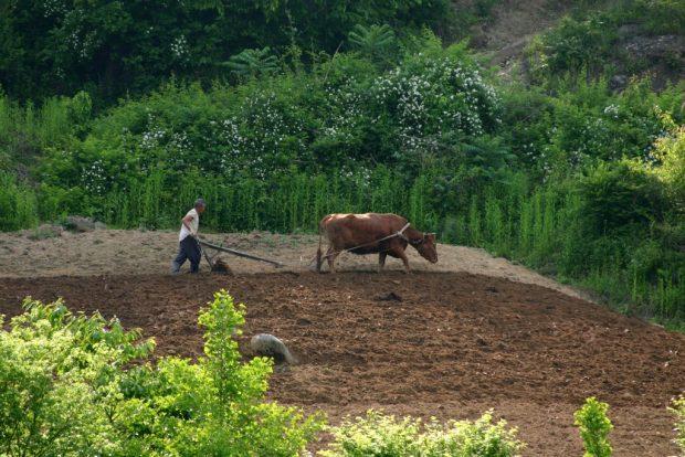 korea-yecheon_county-gigokri-a_old_farmer_plowing_a_field_with_a_cow