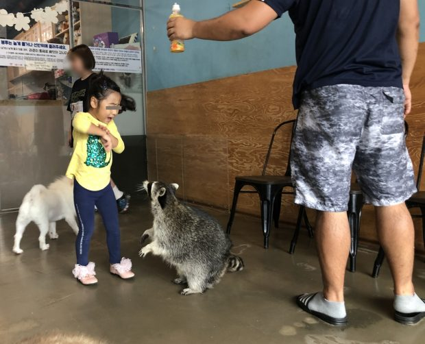 A child plays with a raccoon at a local animal cafe in this undated file photo released by Animal Welfare Awareness Research and Education (Yonhap)