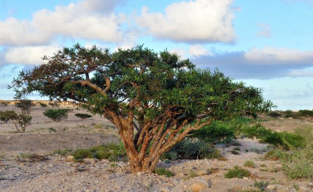 Omani collecting from a frankincense tree (Oman News Agency)