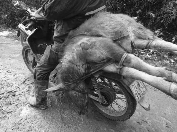 A-man-carries-a-dead-buffalo-on-his-motorbike