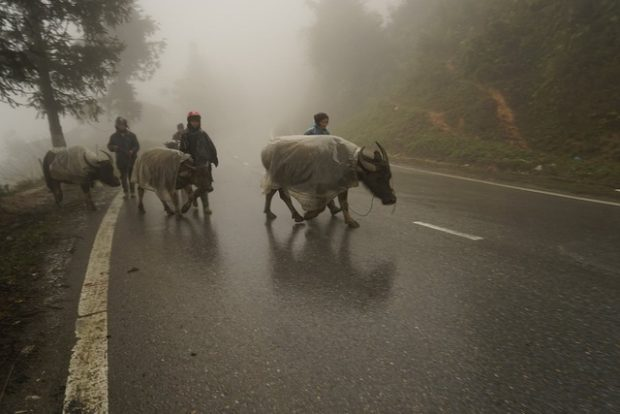 People move their buffaloes to lower areas to avoid the- cold in Lao Cai Province