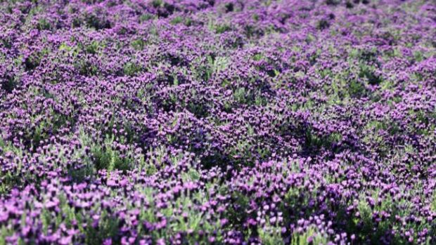 Lavender fields forever: Banwol has 21,500 square meters of lavender fields. Courtesy of Shinan County Office
