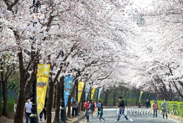 People walk on a street full of cherry blossom trees in Daegu, about 300 kilometers southeast of Seoul, on March 25, 2021. (Yonhap)