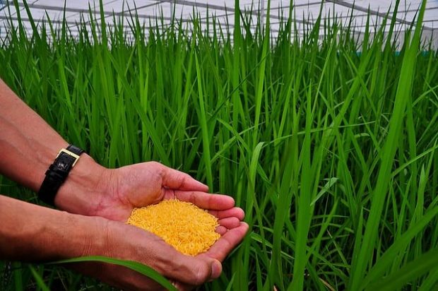 Golden rice amidst a field where the grains were harvested from. Image credit: International Rice Research Institute (CC BY-NC-SA 2.0).